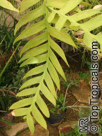 Selenicereus chrysocardium, Epiphyllum chrysocardium, Marniera chrysocardium, Marniera, Fern Leaf  Click to see full-size image