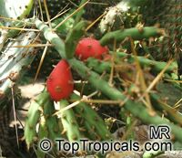 Cylindropuntia sp., Cylindropuntia, ChollaClick to see full-size image