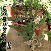 Orbea variegata, Stapelia variegata, Starfish Flower, Star Flower, Toad Cactus  Click to see full-size image