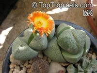 Pleiospilos sp., Split Rock  Click to see full-size image