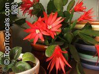 Hatiora gaertneri, Rhipsalidopsis gaertneri, Schlumbergera gaertneri, Easter Cactus Click to see full-size image