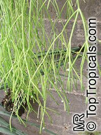 Rhipsalis sp., MistletoeClick to see full-size image