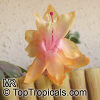 Schlumbergera sp., Orchid Cactus, Thanksgiving Cactus, Christmas Cactus, Crab Cactus  Click to see full-size image