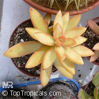Sedum adolphi, Golden Sedum  Click to see full-size image