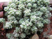 Sedum dasyphyllum, Corsican Stonecrop, Blue Tears Sedum  Click to see full-size image