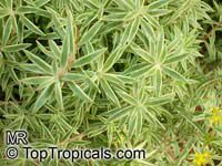 Sedum lineare , Carpet Sedum, Needle Stonecrop   Click to see full-size image