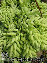Sedum morganianum, Burro's Tail  Click to see full-size image