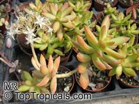 Sedum nussbaumerianum, Nussbaumer's Sedum  Click to see full-size image
