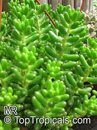 Sedum rubrotinctum, Jelly Beans, Brown Beans, Christmas Cheer  Click to see full-size image