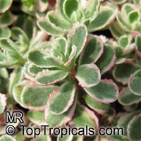 Sedum sp., Sedum  Click to see full-size image