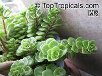 Sedum tetractinum, Chinese Sedum  Click to see full-size image