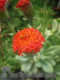 Senecio fulgens, Kleinia fulgens, Orange thistle, Coral senecio  Click to see full-size image