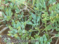 Senecio kleiniiformis, Spear Head  Click to see full-size image