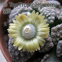 Titanopsis sp., Titanopsis, Living Stone  Click to see full-size image