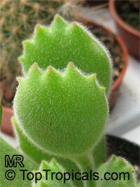 Cotyledon ladismithiensis, Cotyledon tomentosa ssp. ladismithiensis, Bear 's Paws  Click to see full-size image