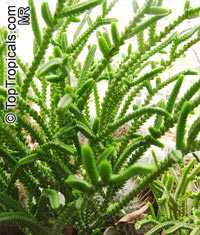 Crassula muscosa, Crassula lycopodioides, Crassula pseudolycopodioides, Rattail Crassula, Watch Chain, Lizard's Tail, Zipper Plant, Princess Pine  Click to see full-size image