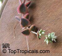 Crassula pellucida, Crassula  Click to see full-size image