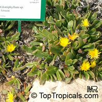 Glottiphyllum sp., Tongue Plant  Click to see full-size image