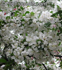 Malus sp., Apple  Click to see full-size image