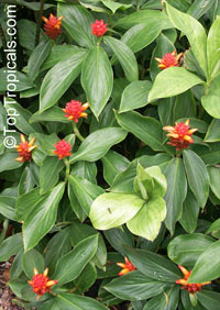 Costus productus, Costus  Click to see full-size image