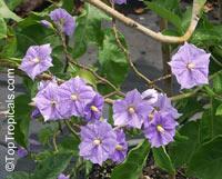 Solanum wendlandii, Potato Vine, Giant Potato Creeper, Costa Rica Nightshade, Paradise Vine   Click to see full-size image