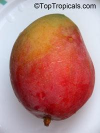 Mangifera indica - P22 Mango, Grafted  Click to see full-size image