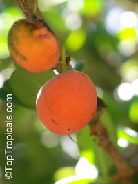 Garcinia spicata, Garcinia  Click to see full-size image