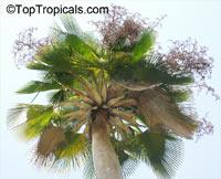 Copernicia baileyana, Bailey Palm, Yarey Palm  Click to see full-size image