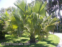 Borassus flabellifer, Borassus aethiopum, Palmira Palm, Toddy Palm