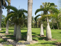 Hyophorbe sp., Mascarena sp., Bottle Palm, Spindle Palm  Click to see full-size image