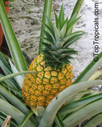 Ananas comosus - edible Pineapple Elite Gold