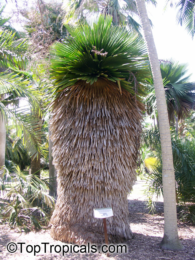 Copernicia Macroglossa Cuban Petticoat Palm