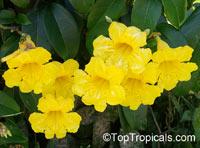 Adenocalymna comosum, Bignonia comosa, Yellow Trumpet VineClick to see full-size image