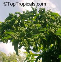 Antidesma bunius, Bignay, Bugnay, Tassel berry  Click to see full-size image