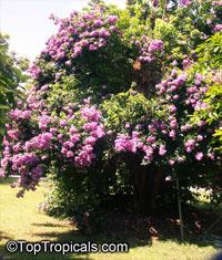 Bougainvillea arborea, Bougainvillea  Click to see full-size image