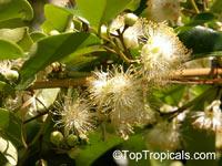 Pseudanamomis umbellulifera, Myrtus umbellulifera, Monos plum, Ciruelas  Click to see full-size image