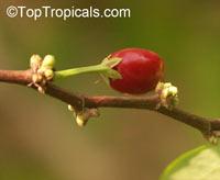 Erythroxylum coca, Huanuco, CocaClick to see full-size image