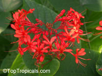 Clerodendrum speciosissimum, Clerodendrum fallax, Clerodendrum japonicum, Java Glorybower, ClerodendronClick to see full-size image