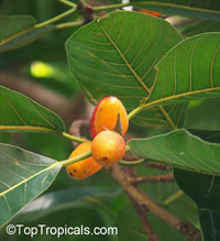 Ficus mysorensis, Yellow-Berry Ficus  Click to see full-size image