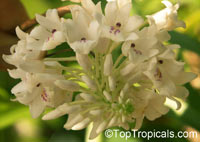 Neobenthamia gracilis, Neobenthamia  Click to see full-size image