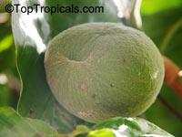 Tabernaemontana crassa, Conopharyngia crassa, Conopharyngia durissima, Adam's Apple  Click to see full-size image