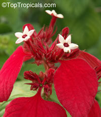 Mussaenda Dona Evangelina - Red  Click to see full-size image