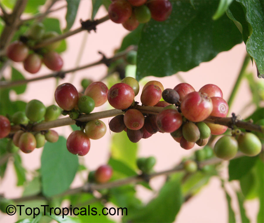 Coffea arabica coffee for Coffea arabica