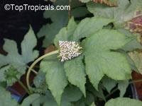 Dorstenia contrajerva, Contra Heirba, Contrayerva, Tusilla  Click to see full-size image