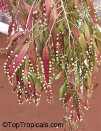 Pseudorhipsalis ramulosa, Rhipsalis ramulosa var. angustissima, Red RhipsalisClick to see full-size image