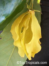 Desmos chinensis, Dwarf Ylang Ylang shrub  Click to see full-size image