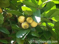 Atalantia monophylla, Limonia monophylla, Indian Atalantia, Wild Lime   Click to see full-size image
