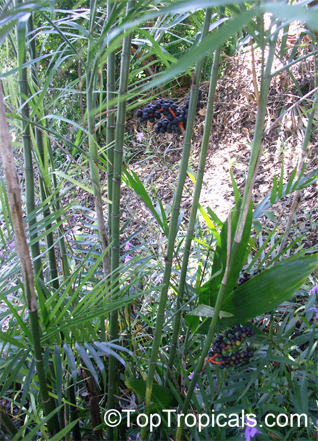 Chamaedorea Seifrizii Chamaedorea Erumpens Bamboo Palm