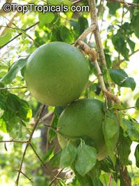 Strychnos spinosa, Kaffir Orange, Spiny Orange, Green Monkey Orange  Click to see full-size image