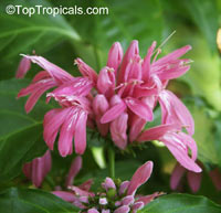 Dianthera x Pink Candy  Click to see full-size image